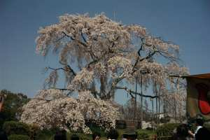 Big Cherry Blossom Tree, Maruyama Koen, Kyoto