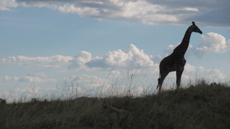 Off-centre silhouette of a giraffe, Masai Mara, Kenya