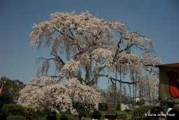 Big Cherry Tree, Maruyama Park, Kyoto