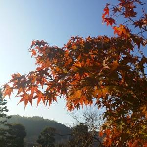 Maple leaves in Narita, near Tokyo