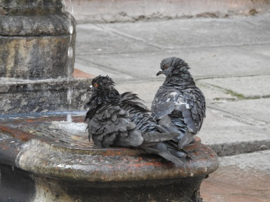 Pigeons having a bath