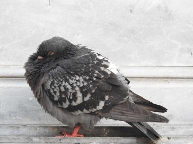A fluffly pigeon